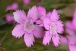 Maiden's Pink
