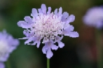 Small Scabious