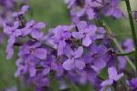 Dame's Violet