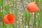 Long Headed Poppy